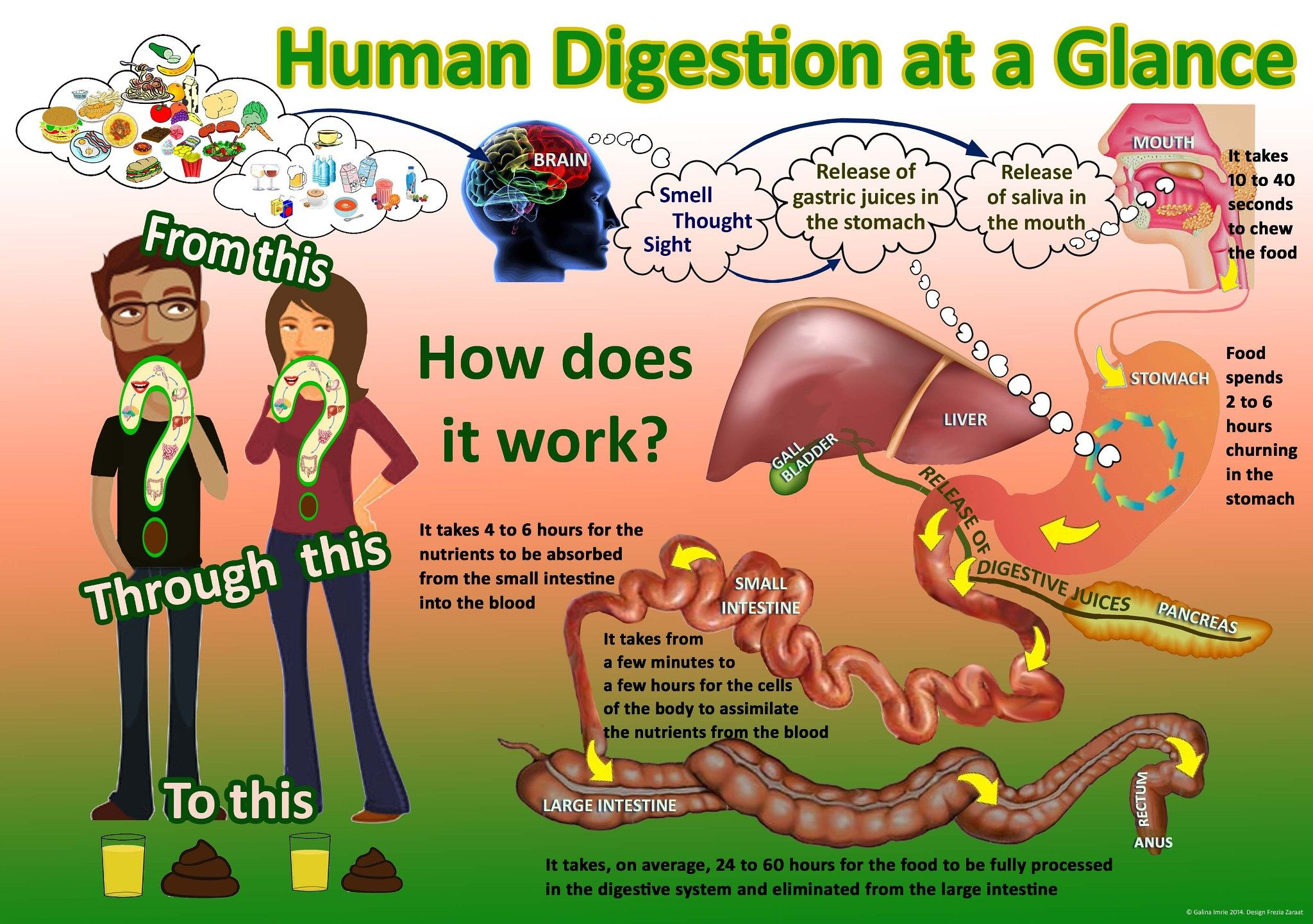 Human Digestion At A Glance