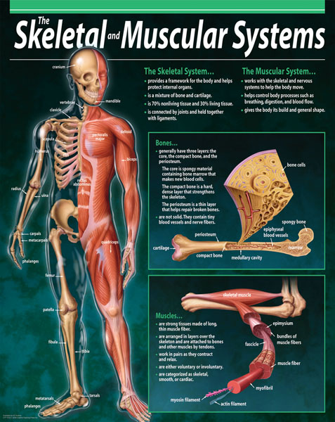 skeletal and muscular systems Skeletal and muscular system open note test multiple guess _____ cartilage is  a) infection in the bones b) swelling & stiffness in a joint c) tough flexible cushion between two bones.