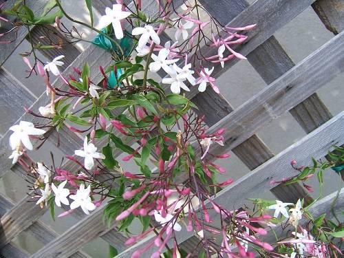 Pink Jasmine