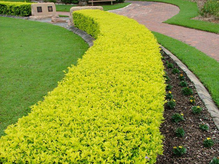 Duranta gold for Vegetacion ornamental