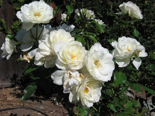 Rose White Iceberg