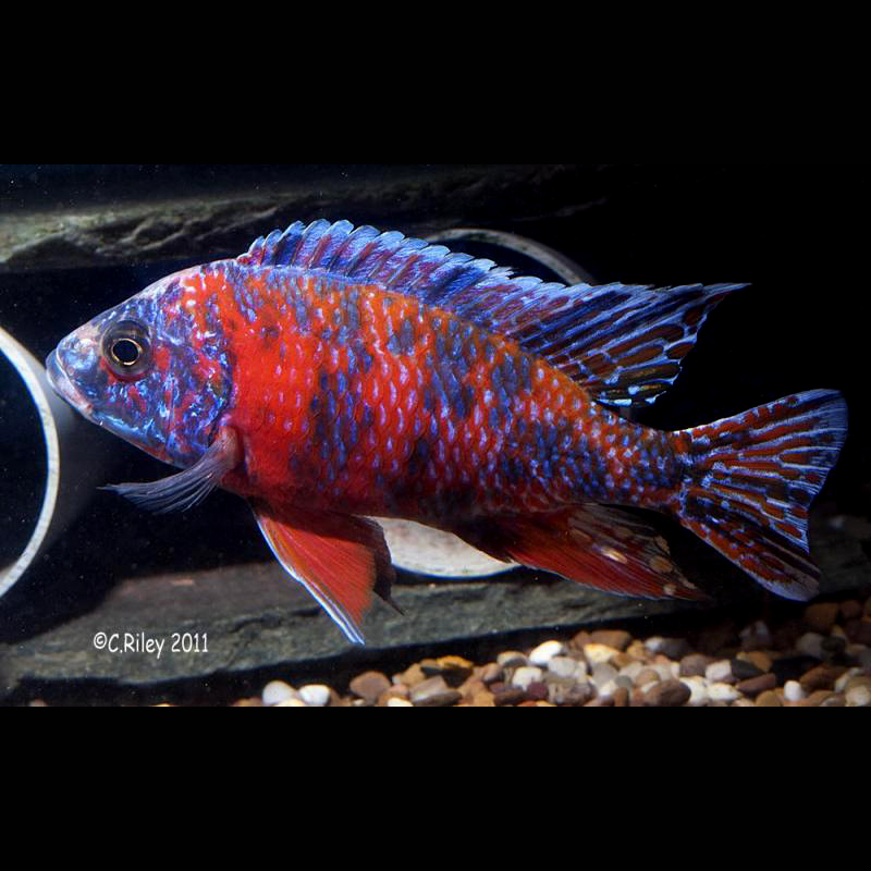 Aulonocara o b fire for B liner fish