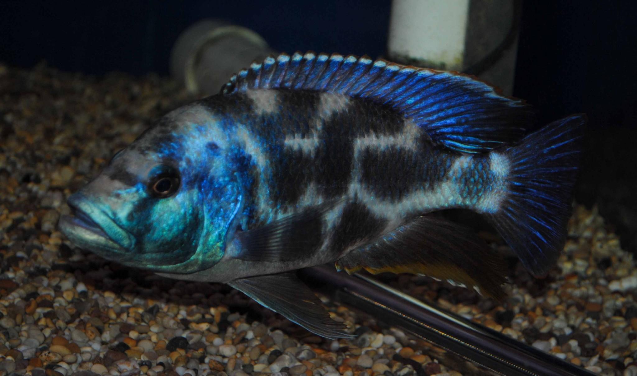 nimbochromis livingstonii sexed pairs 1214cm stunning