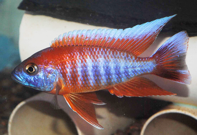 Aulonocara Jacobfreibergi Eureka Colour Select *Line Bred* - COLOURED ...