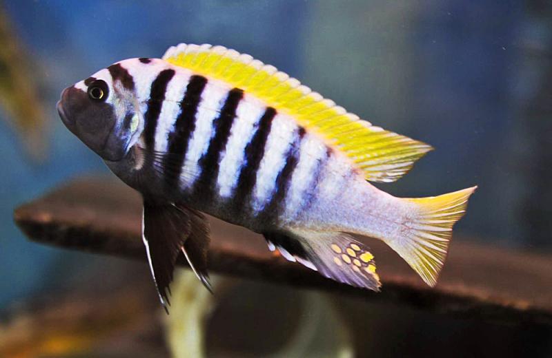 Dwarf Mbuna : Cynotilapia afra Jalo Reef 3-4cm Summary