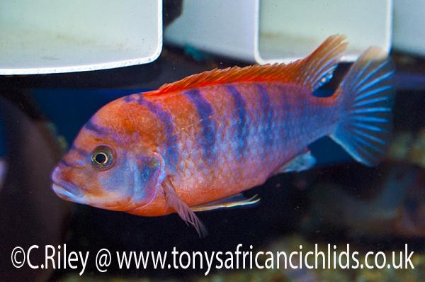 5cm Labidochromis Super Red Top Hongi Summary