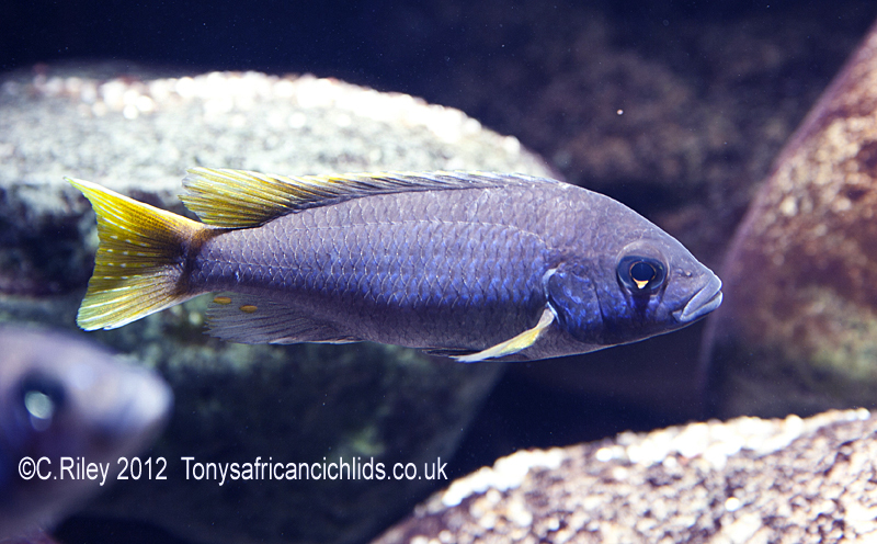 Yellow tail acei cichlid