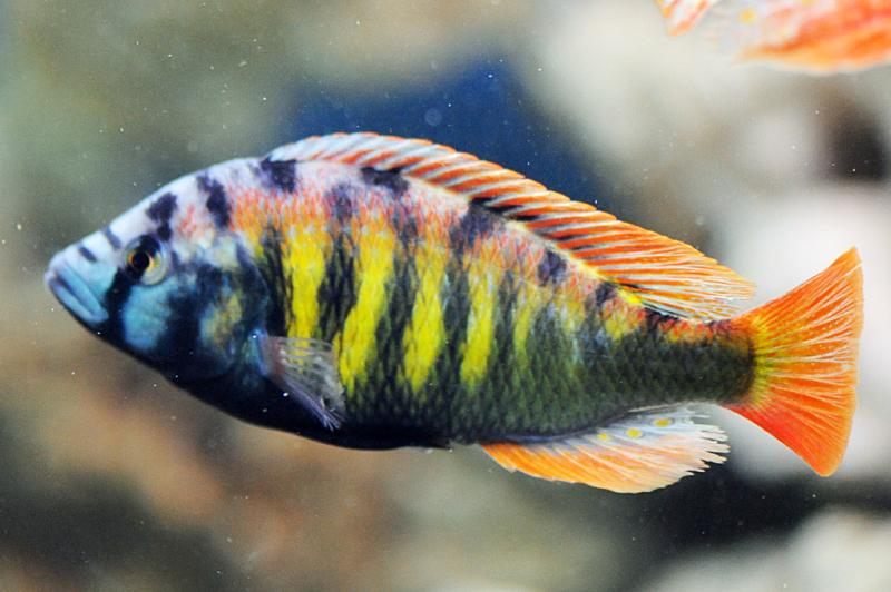 African cichlids haps