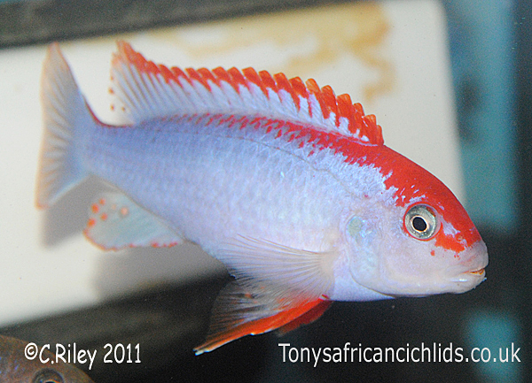 Pseudotropheus Ndumbi Super Red Top T.A.C 3-4cm,