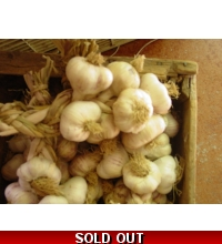 Garlic, Lahontan Early White