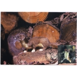 2485 Woodland Animals Stoat Maximum Card