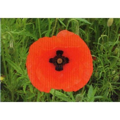 DR01 Norfolk Poppy postcard - with cross at centre - discount for more than 2
