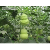 baby shape melon growing