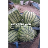 square shape watermelon and mold for s..