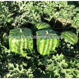 square watermelon for sale