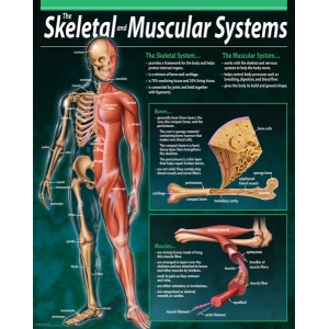 The Skeletal and Muscul..