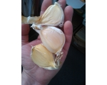 ELEPHANT GARLIC ´AGLIO ELEFANTE´ UK ONLY - Pre ..