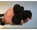 TEN BLACK SUMMER TRUFFLE TREES Mainland UK ON OAK