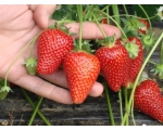STRAWBERRY PLANT SELVA FRAGOLAVIVA UK ONLY.Preo..