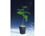 FOUR BLACK SUMMER TRUFFLE TREES UK ONLY.