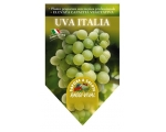 TABLE GRAPE UVA ITALIA PLANT