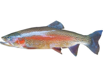 Rainbow Trout trailer Decal