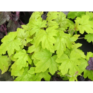 Heucherella 'Sunrise Fa..