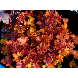 Heuchera 'Peach Crisp'