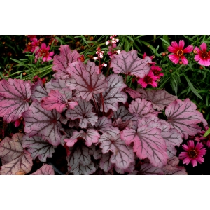 Heuchera 'Sugar Berry' Cutie..