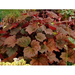 Heuchera 'Walnut'