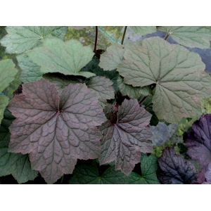 Heuchera 'Brownies'