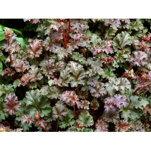 Heuchera 'Cafe au Lait'