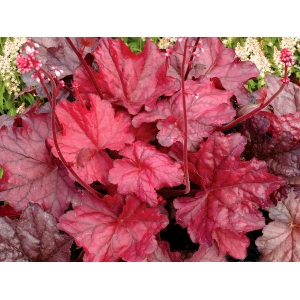 Heuchera 'Fire Chief'