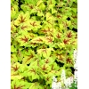 Heucherella 'Stoplight'