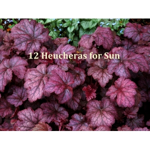 12 Heucheras for Sun