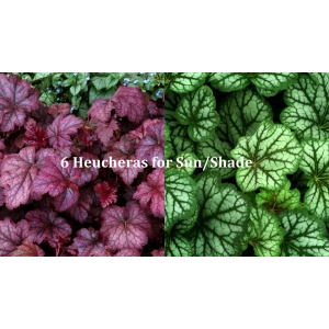 6 Heucheras for Sun/Shade