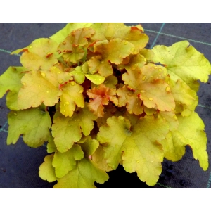 Heuchera September Morn