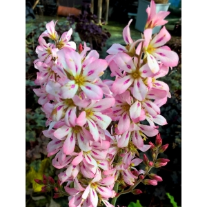Francoa 'Pink Bouquet'