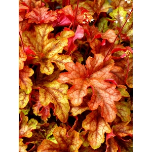 Heucherella 'Autumn Cas..