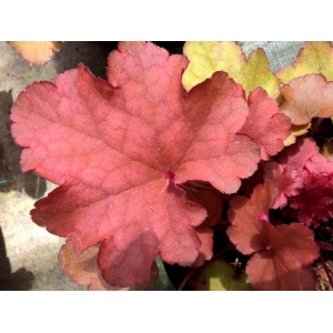 Heuchera 'Cranberry' - India..