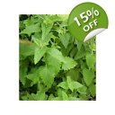 Catnip seeds 500+. Nepeta Cateria Seeds