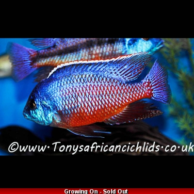 4 x Protomelas taeniolatus Red Empress 5-6cm BACK IN STOCK