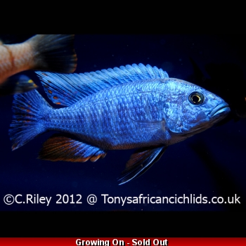 COLOURED SEXED PAIR Blue fry..