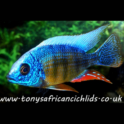 "COLOURED SEXED PAIR F2 Protomelas steveni Taiwan Reef - 7-8cm/3.5-4"", females smaller, READY Now, limited stock"