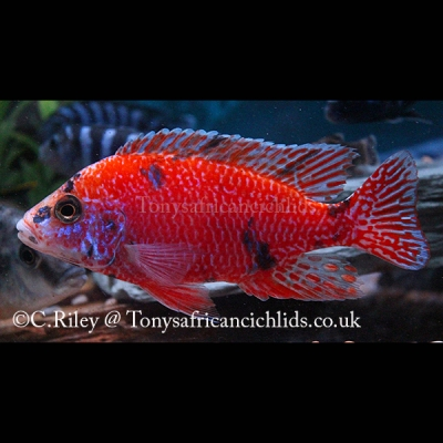 Aulonocara O/B red/orange Light blotch Line Bred COLOURED SEXED PAIR - 7-8 cm/3.5
