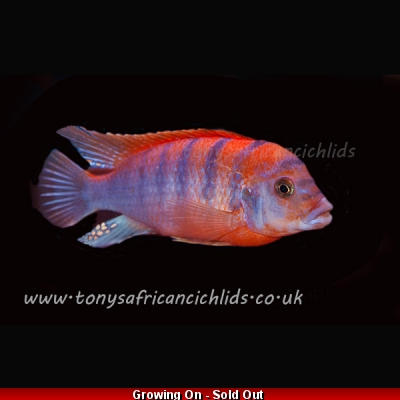 6 x Labidochromis super red top hongi 4cm