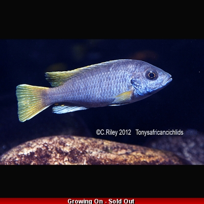 Pseudotropheus acei Yellow Tail - COLOURED SEXED PAIR - 7-9cm