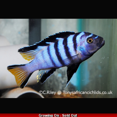 PAIR COLOURED SEXED - Pseudotropheus elongatus Mphanga  -Male 6-7cm, Female 4-5cm BACK IN STOCK