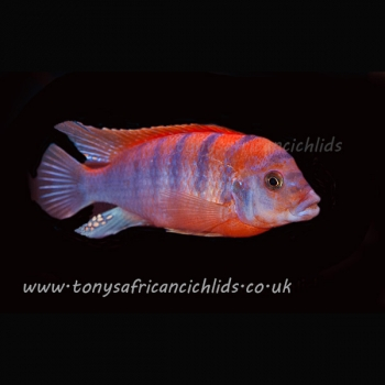 PAIRS COLOURED SEXED Labidochromis Super Red Top Hongi 6cm, females a little smaller, limited stock