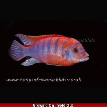 4 x 4cm Labidochromis Super Red Top Hongi